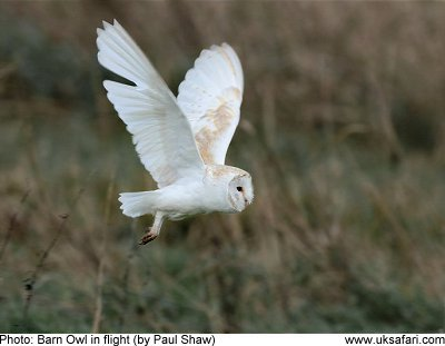 'Bumble Barn Owl' on the look out for a tasty morsel!