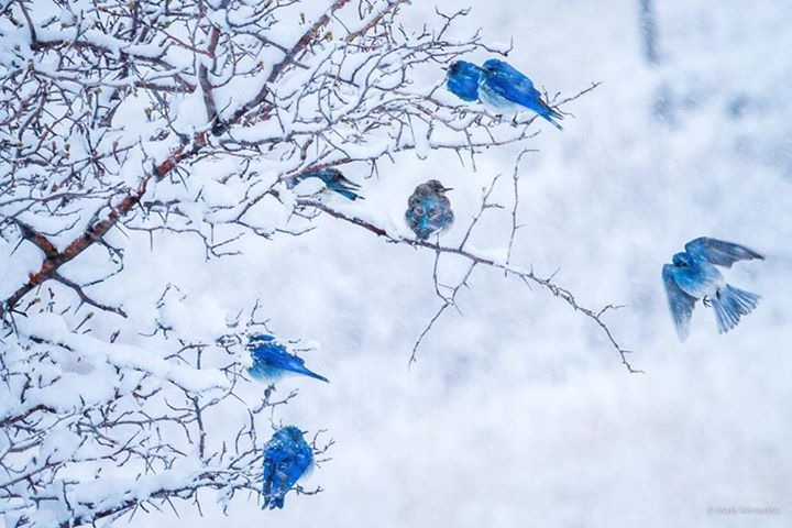 Some bold and brave blue birds during Whimsy Wood's snowstorm !
