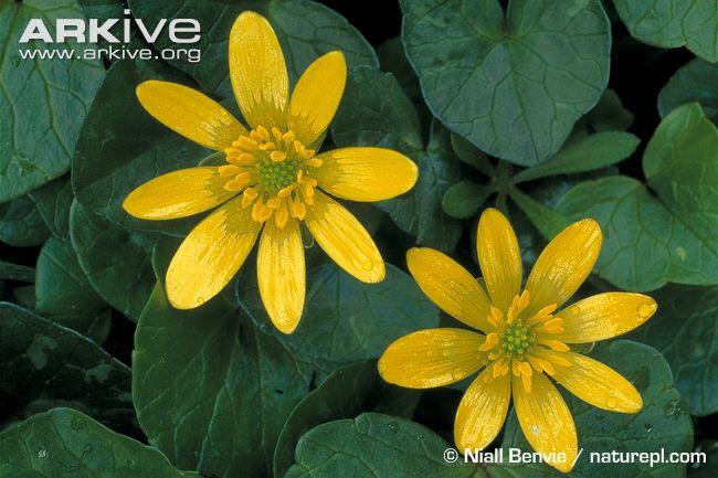 Stunning star-shaped celandines, that are definite signs of Spring!