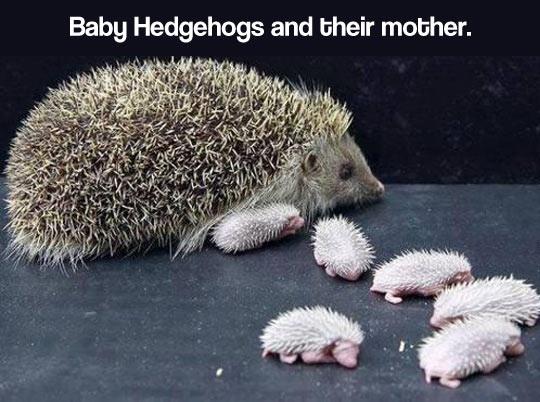 Mummy Hedgehog And Her Hoglets! ?