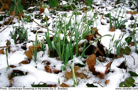 The 1st snowdrops flowering in 'Whimsy Wood'. ?