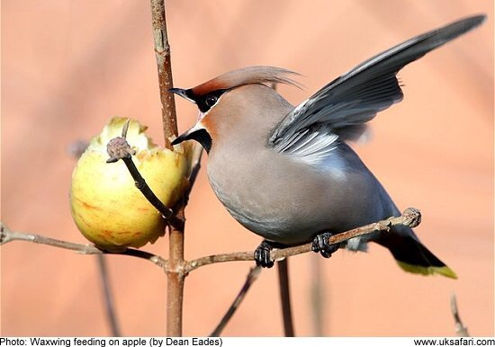 'Wilma Waxwing' arriving in 'Whimsy Wood' for her winter holiday! ?